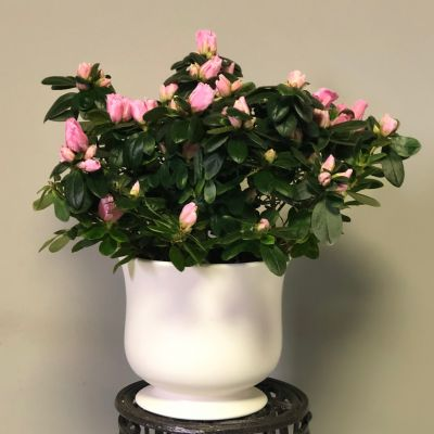 Azalea Plant in Ceramic Container